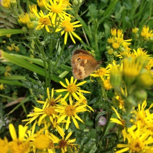 I just looked out of my bedroom window to see this gatekeeper on the ragwort. Luckily it stuck around for me to take a photo!