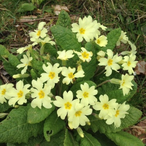 Native primroses are edible too!