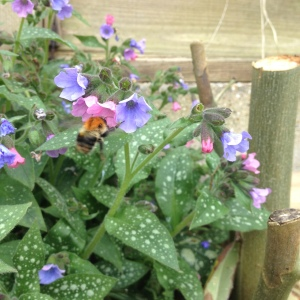 Lungwort flowers early and the bees loved it this year!