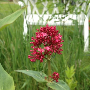 Red valerian about to flower