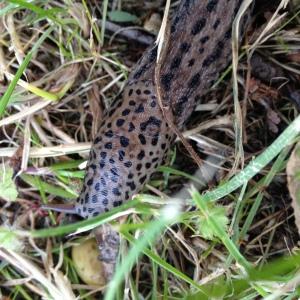 This leopard slug was saved the slug-knife because he's quite handsome - for a slug