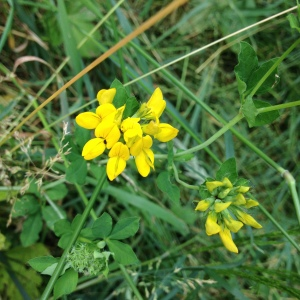 Greater bird's foot trefoil - lotus pedunculatus