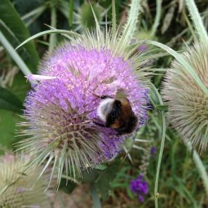 Bees love teasel