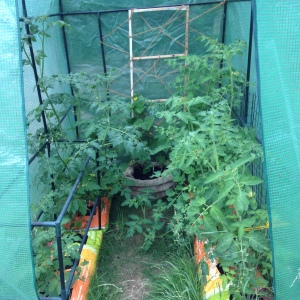Just a few of the many tomato plants