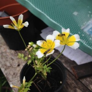 The poached egg plant is easy to grow, attracts insects and is on BCTs list - but the slugs seem to love it to so beware!