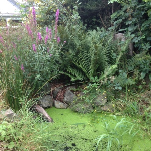 A recent photo of the pond with the purple loosestife - Lythrum salicaria in flower at the back