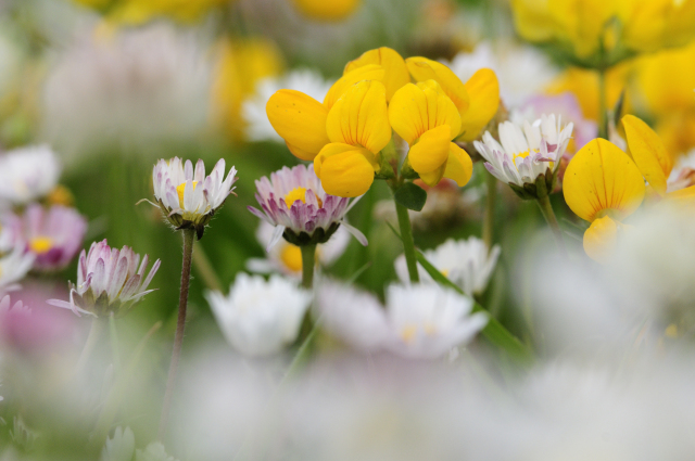 Bird's foot trefoil and daisies