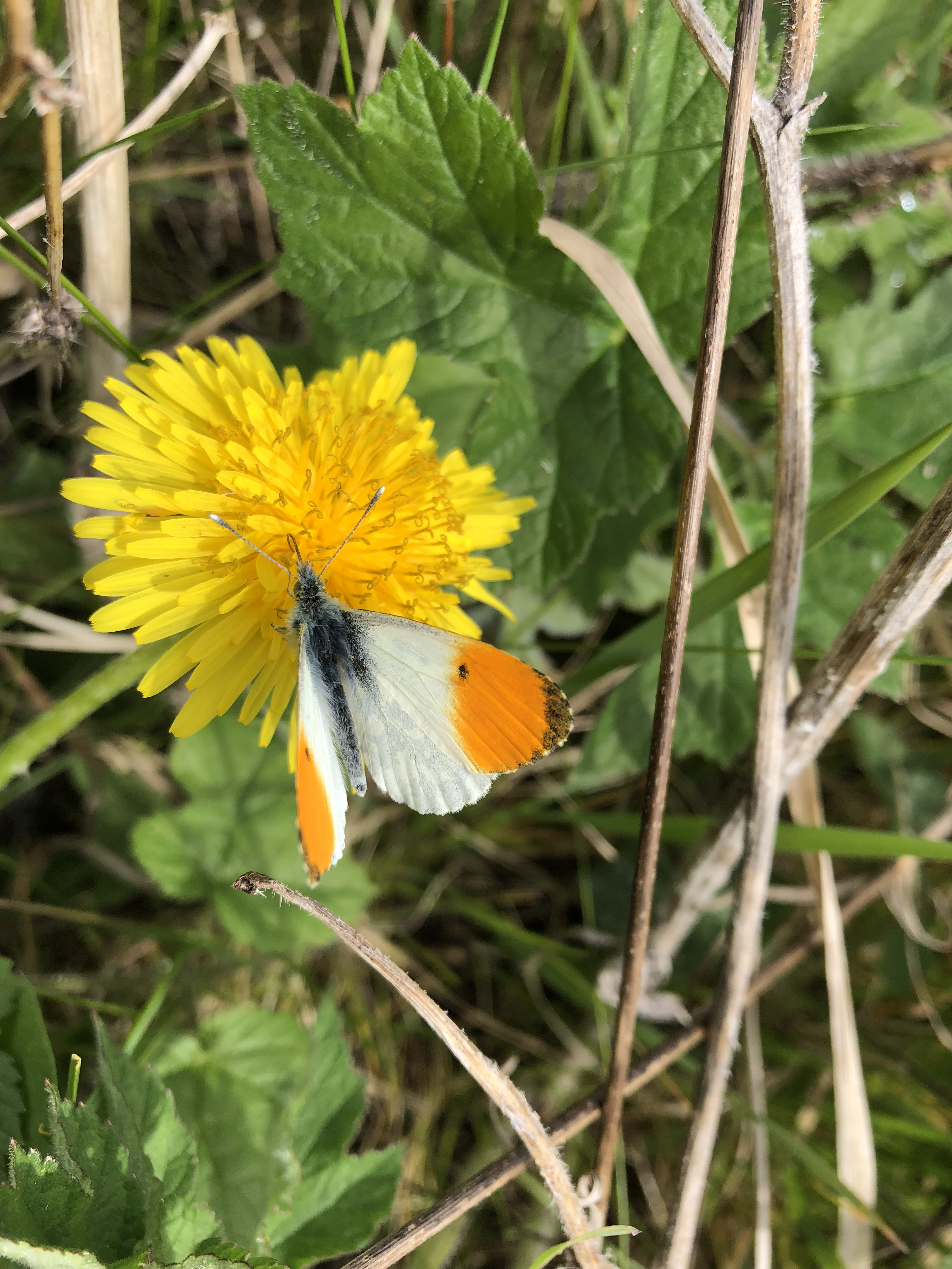 Dandelion and orange tip butterfly